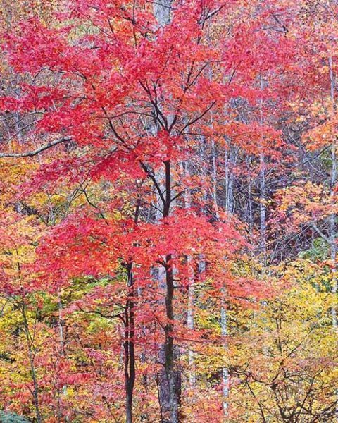 Christopher Burkett - Vivid Red Maple, Virginia border=