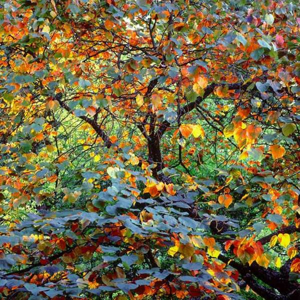 Christopher Burkett - Autumn Circus, Oregon border=