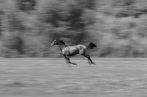 Title: Pegasus , Date: 2009 , Size: 10 1/2 x 15 3/4 inches , Medium: Archival Pigment Print Photograph , Signed: L/R , Edition: 17/ 125