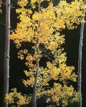 Title: Graceful Aspen, Colorado , Size: 40 x 30 inches , Medium: Cibachrome Photograph , Signed: L/R , Edition: #27
