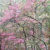 Title: Redbud and Dogwoods, Kentucky , Size: 20 x 20 inches , Medium: Cibachrome Photograph , Signed: L/R , Edition: #13