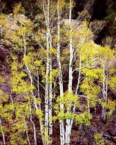 Title: White Aspens and Rock Wall , Date: 2000 , Size: 24 x 20 inches , Medium: Cibachrome Photograph , Signed: L/R , Edition: #7