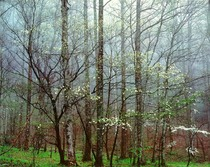 Title: Dogwoods, Forest and Mist, TN , Size: 20 x 24 inches , Medium: Cibachrome Photograph , Signed: Signed , Edition: #68