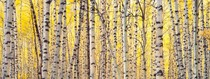Title: Aspens and Golden Light, CO , Size: 20 x 50 inches image , Medium: Cibachrome Photograph , Signed: Signed , Edition: #11