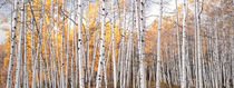 Title: Golden Aspen Glade, Colorado , Date: 2005 , Size: 20 x 50 inches image , Medium: Cibachrome Photograph , Edition: #93