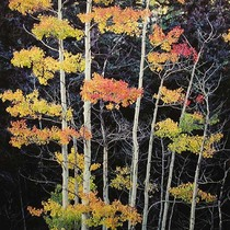 Title: Truffula Aspens , Size: 30 x 30 inches , Medium: Cibachrome Photograph , Signed: L/R , Edition: #21