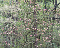 Title: Gentle Dogwoods, Kentucky , Size: 20 x 24 inches , Medium: Cibachrome Photograph , Signed: L/R , Edition: #8