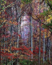 Title: Glowing Autumn Forest, Virginia , Size: 30 x 40 inches , Medium: Cibachrome Photograph , Signed: L/R , Edition: #361