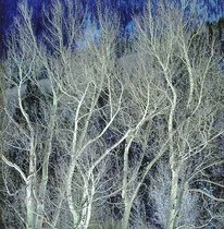 Title: Swirling White Winter Aspen, CO , Size: 30 x 30 inches , Medium: Cibachrome Photograph , Signed: L/R , Edition: #6
