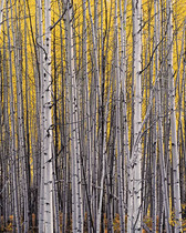 Title: Aspen Thicket, Colorado , Date: 2005 , Size: 24 x 20 inches , Medium: Cibachrome Photograph , Signed: L/R , Edition: #9