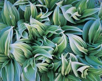 Title: Green Veratrum , Size: 30 x 40 inches , Medium: Cibachrome Photograph , Signed: L/R , Edition: #96