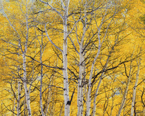 Title: Sunlit Golden Aspens , Size: 30 x 40 inches , Medium: Cibachrome Photograph , Signed: L/R , Edition: #6