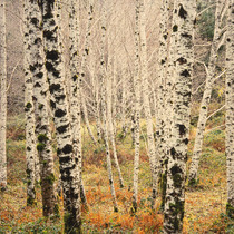 Title: Winter Alder Glade , Size: 30 x 30 inches , Medium: Cibachrome Photograph , Signed: L/R , Edition: #6