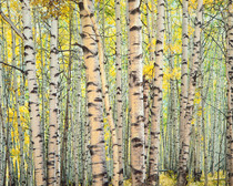 Title: Trout Creek Aspen Forest , Size: 30 x 40 inches , Medium: Cibachrome Photograph , Signed: L/R , Edition: #35