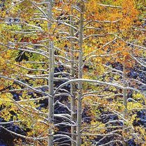 Title: Luminous Aspens with Snowy Branches, Colorado , Size: 30 x 40 inches , Medium: Cibachrome Photograph , Signed: Signed , Edition: #42