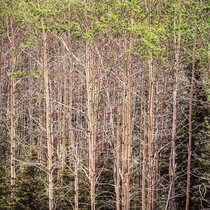 Title: Radient Aspens, Alaska , Size: 30 x 30 inches , Medium: Cibachrome Photograph