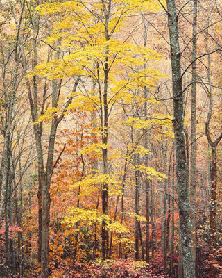 Title: Yellow Maple, Forest and Light, Virginia , Date: 1991 , Size: 40 x 30 inches , Medium: Cibachrome Photograph , Edition: #52