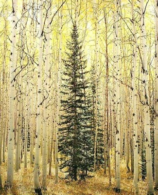 Title: Spruce and Bright Aspen Forest, Colorado , Size: 40 x 30 inches , Medium: Cibachrome Photograph , Edition: #57