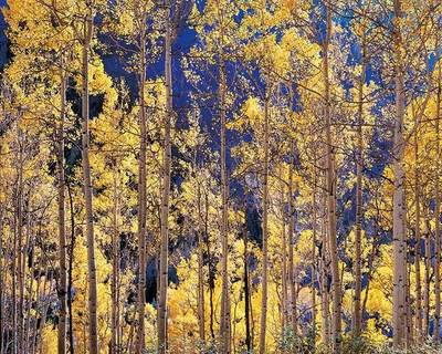 Title: Telluride Aspens, Colorado , Size: 30 x 40 inches , Medium: Cibachrome Photograph , Edition: #79
