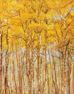 Title: Bright Sunny Aspens, Colorado , Size: 40 x 30 inches , Medium: Cibachrome Photograph