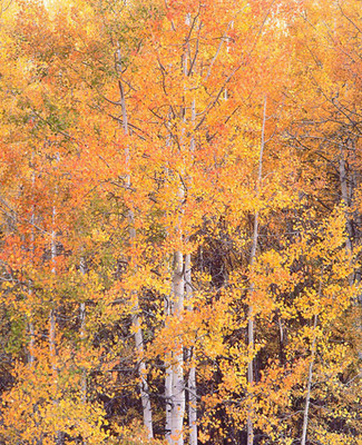 Title: Crystal River Aspens, Colorado , Size: 40 x 30 inches , Medium: Cibachrome Photograph , Signed: L/R
