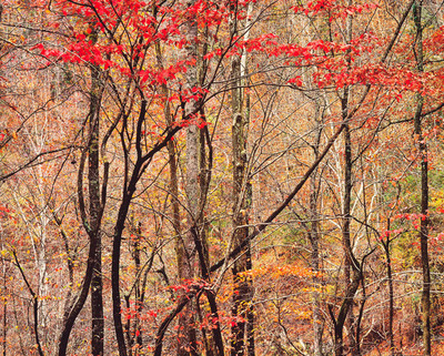 Title: Bold Autumn Forest, Tennessee , Size: 30 x 40 inches , Medium: Cibachrome Photograph , Signed: L/R