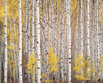 Title: Aspen Grove, Colorado , Date: 1993 , Size: 30 x 40 inches , Medium: Cibachrome Photograph , Signed: L/R , Edition: #260