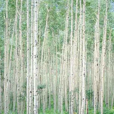 Title: Summer Aspen Forest, Colorado , Size: 30 x 30 inches , Medium: Cibachrome Photograph , Signed: Signed , Edition: #51