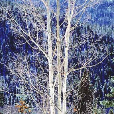 Title: Triune Winter Aspen, Colorado , Size: 30 x 30 inches , Medium: Cibachrome Photograph , Signed: Signed , Edition: #13