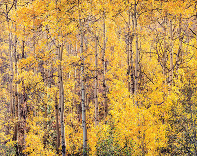 Title: Golden Aspens and Afternoon Sunlight, Colorado , Size: 30 x 40 inches , Medium: Cibachrome Photograph , Signed: Signed , Edition: #18
