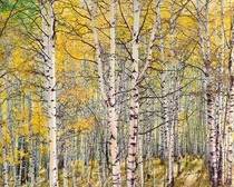 Title: Marcellina Aspens , Size: 30 x 40 inches , Medium: Cibachrome Photograph , Signed: L/R , Edition: #55