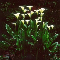 Title: White Callas at Dawn , Size: 30 x 30 inches , Medium: Cibachrome Photograph , Signed: L/R , Edition: #29