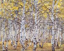 Title: Black Mountain Aspen Forest, Utah , Size: 30 x 40 inches , Medium: Cibachrome Photograph , Signed: L/R , Edition: #34