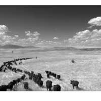 Cow Country, Barbara Van Cleve
