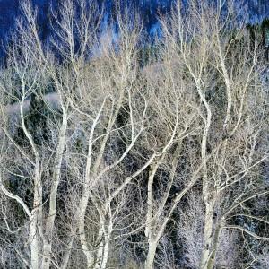 Swirling White Winter Aspens