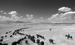 Barbara Van Cleve, Cow Country